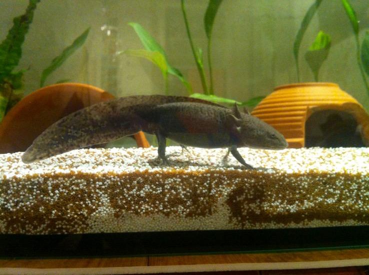Axolotl - 1